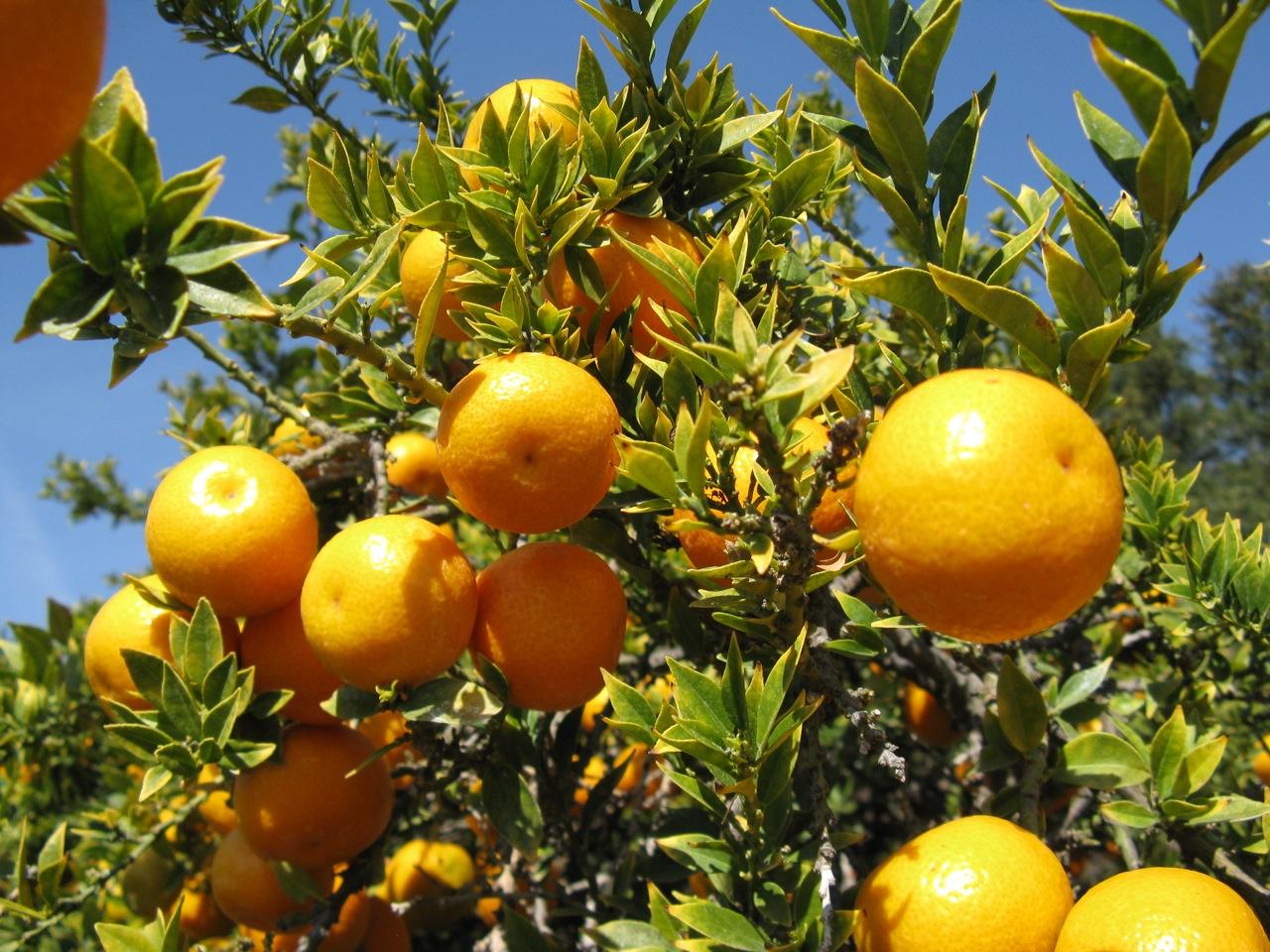 柑橘果实的结构