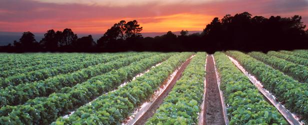 9万英亩(截止到2014)的土地上种植着全美88%的草莓